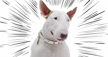 Jimmy Choo: Bull Terrier Collection
